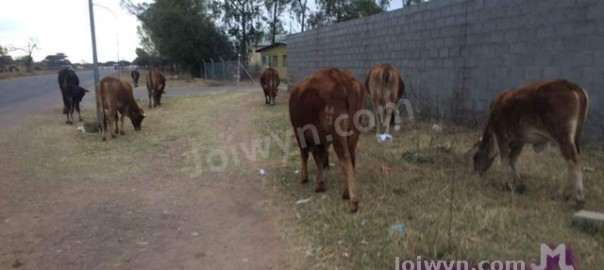 Cows on dirt sidewalk by wall