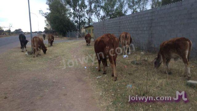 Cows on dirt sidewalk by wall